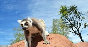 LemureCatta